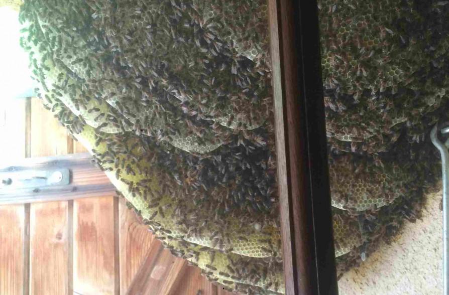 Recuperation essaim d 39 abeilles cucuron 84160 vaucluse paca - Essaim de guepe ...